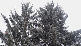Árbol de abeto en invierno almacen de metraje de vídeo