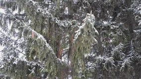 Árbol de abeto en invierno metrajes