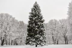 Árbol de abeto enorme fotografía de archivo libre de regalías