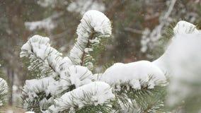 Árbol de abeto hermoso cubierto con la nieve, cierre encima de la visión almacen de video