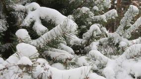 Árbol de abeto hermoso cubierto con la nieve, cierre encima de la visión almacen de metraje de vídeo