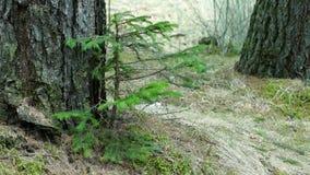 Árbol de abeto joven que se sacude en un fuerte viento almacen de video