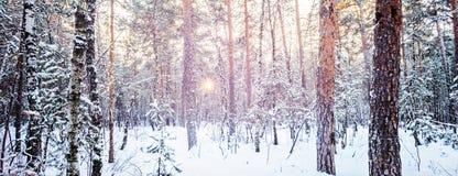 Árbol de abeto de la puesta del sol de la tarde de la helada del bosque del invierno del abeto del pino y Foto de archivo