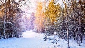 Árbol de abeto de la puesta del sol de la tarde de la helada del bosque del invierno del abeto y del abedul del pino Fotografía de archivo libre de regalías