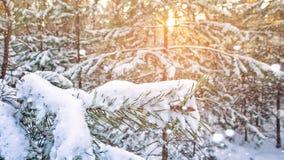 Árbol de abeto de la puesta del sol de la tarde de la helada del bosque del invierno del abeto y del abedul del pino Imagenes de archivo
