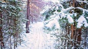Árbol de abeto de la puesta del sol de la tarde de la helada del bosque del invierno del abeto y del abedul del pino Imagen de archivo