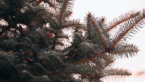 Árbol de abeto nevado almacen de video