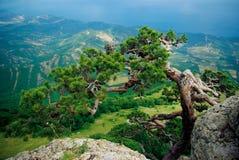 Árbol de abeto que crece de la roca foto de archivo