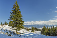 Árbol de abeto solitario en invierno Fotografía de archivo libre de regalías