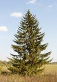 Árbol de abeto solo Imagen de archivo libre de regalías