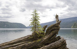 Árbol de abeto solo en el driftwood fotografía de archivo