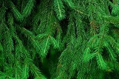 Árbol de abeto Textura de las agujas de la rama Imagen de archivo