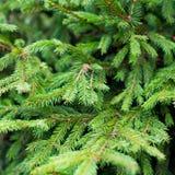 Árbol de abeto verde Fotos de archivo