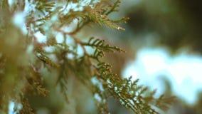 Árbol de abeto verde de la rama cubierto en la nieve almacen de video