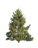 Árbol de abeto verde natural aislado en blanco Imagen de archivo libre de regalías