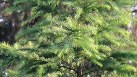 Árbol de abeto verde que sopla en el viento almacen de video