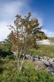 Árbol de acebo en el paisaje irlandés Fotos de archivo