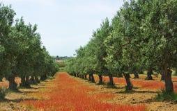 Árbol de aceitunas en campo coloreado. Foto de archivo libre de regalías