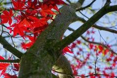 Árbol de Acer del japonés Foto de archivo