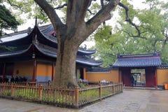 Árbol de alcanfor de 600 años del templo en área escénica de la isla putuoshan, adobe rgb del pujisi Foto de archivo