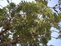 Árbol de algarroba Imágenes de archivo libres de regalías