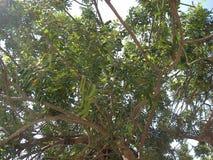 Árbol de algarroba Foto de archivo