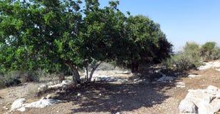 Árbol de algarroba imagen de archivo
