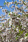 Árbol de almendra Foto de archivo