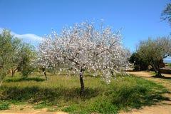 Árbol de almendra Fotos de archivo