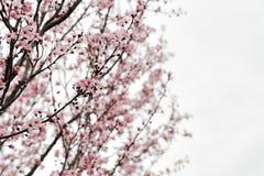 Árbol de almendra Fotos de archivo libres de regalías