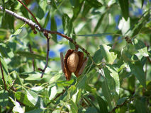 Árbol de almendra Fotografía de archivo