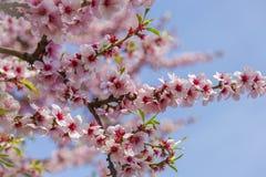 Árbol de almendra con el flor rosado en el flor del cielo azul en el cielo azul Fotos de archivo libres de regalías