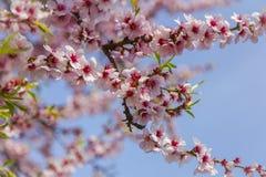 Árbol de almendra con el flor rosado en el flor del cielo azul en el cielo azul Imagenes de archivo