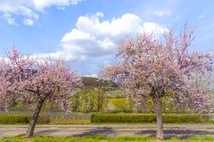 Árbol de almendra con la ruta meridional Ger del vino del paisaje rosado del flor Imagen de archivo