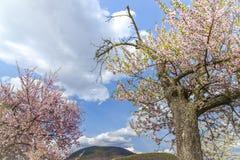 Árbol de almendra con la ruta meridional Ger del vino del paisaje rosado del flor Fotografía de archivo libre de regalías