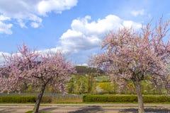 Árbol de almendra con la ruta meridional Ger del vino del paisaje rosado del flor Imagenes de archivo
