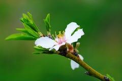 Árbol de almendra de la flor Fotos de archivo