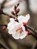 Árbol de almendra dulce floreciente Imagen de archivo libre de regalías