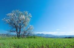 Árbol de almendra en flor imagen de archivo libre de regalías
