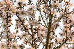 Árbol de almendra en la floración Foto de archivo libre de regalías