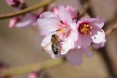 Árbol de almendra en la plena floración y la abeja Fotografía de archivo