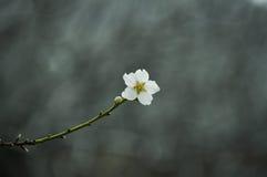 Árbol de almendra floreciente Foto de archivo