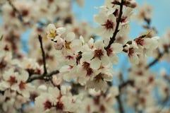 Árbol de almendra floreciente Imagenes de archivo