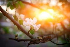 Árbol de almendra floreciente en el fondo del cielo azul foto de archivo