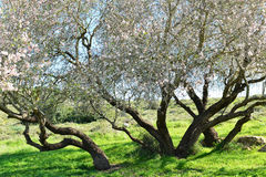 Árbol de almendra grande en la floración Fotos de archivo libres de regalías