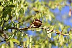 Árbol de almendra orgánico fotografía de archivo libre de regalías