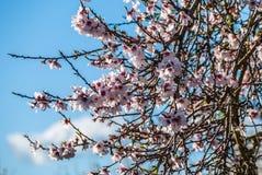 Árbol de almendra que florece en sol del invierno en Majorca, España Fotografía de archivo