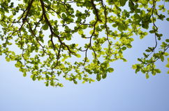 Árbol de almendra tropical Imagenes de archivo