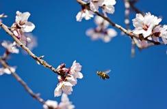 Árbol de almendra y abeja del vuelo Fotografía de archivo