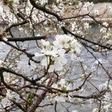 Árbol de almendras Fotos de archivo